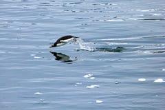 Заплывание пингвина Gentoo и скакать в отраженную воду, антартический полуостров Стоковое Изображение