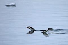 Заплывание пингвина Gentoo и скакать в отраженную воду, антартический полуостров Стоковое Фото