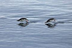 Заплывание пингвина Gentoo и скакать в отраженную воду, антартический полуостров Стоковые Фотографии RF