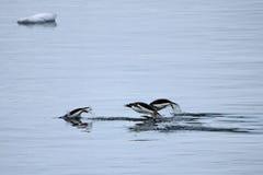 Заплывание пингвина Gentoo и скакать в отраженную воду, антартический полуостров Стоковые Фото