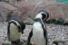заплывание пингвина humbolt (humboldti spheniscus) Стоковое Фото