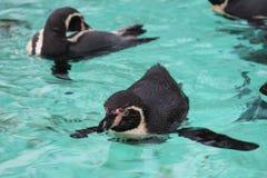 заплывание пингвина humbolt (humboldti spheniscus) Стоковые Изображения RF