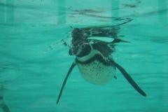 заплывание пингвина humbolt (humboldti spheniscus) Стоковые Фото