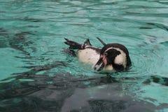 заплывание пингвина humbolt (humboldti spheniscus) Стоковое Изображение