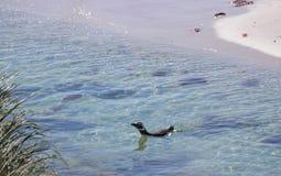 Заплывание пингвина Magellanic на цыганской бухте Стоковые Фотографии RF