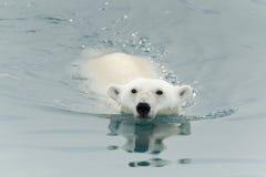 Заплывание полярного медведя в море Стоковая Фотография RF