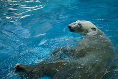 Заплывание полярного медведя Стоковые Фото