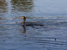 Заплывание птицы баклана Стоковые Фотографии RF