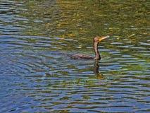 Заплывание птицы баклана Стоковые Изображения