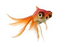Заплывание рыбки islolated на белизне Стоковые Изображения