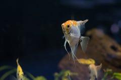 Заплывание рыб аквариума scalare Angelfish малое в аквариуме Стоковые Фотографии RF