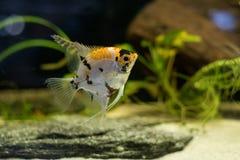 Заплывание рыб аквариума scalare Angelfish малое в аквариуме Стоковое Фото