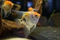 Заплывание рыб аквариума scalare Angelfish малое в аквариуме Стоковое фото RF