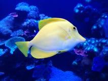Заплывание рыб в аквариуме стоковое изображение
