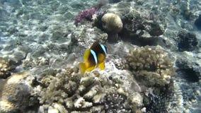 Заплывание рыб клоуна в коралловых рифах Красное Море Египет акции видеоматериалы