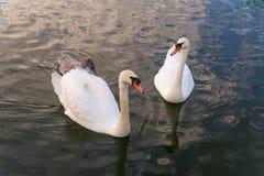 Заплывание семьи лебедя в воде Стоковые Изображения