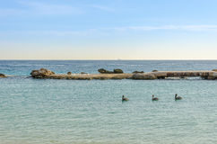 Заплывание семьи пеликана в карибском море Стоковое Изображение RF