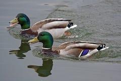 Заплывание 2 селезней на озере Стоковое фото RF