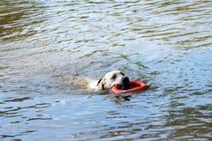 Заплывание собаки стоковые изображения