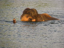 Заплывание слона в реке стоковые фотографии rf
