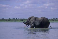 Заплывание слона Стоковое Фото