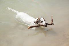 Заплывание терьера Рассела jack полной съемки в реке Стоковые Изображения RF