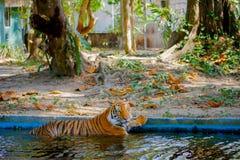 Заплывание тигра стоковые фотографии rf