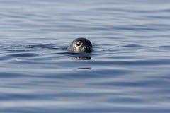Заплывание уплотнения гавани, смотря в камеру Стоковые Фото
