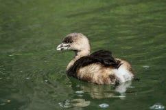 Заплывание утки в воде Стоковая Фотография