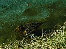 Заплывание утки в воде Стоковая Фотография RF