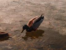 Заплывание утки в воде Стоковое Изображение