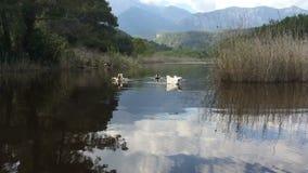 Заплывание утки в пруде Животное живой природы Одичалые перелётные птицы Красивые птицы в стаде Стая уток waterfowl видеоматериал