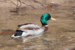Заплывание утки в пруде Стоковая Фотография