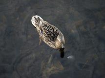 Заплывание утки кряквы в воде Стоковое Изображение