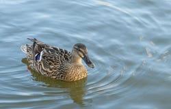 Заплывание утки на воде Стоковые Фото