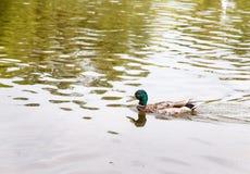 Заплывание утки на озере стоковое изображение