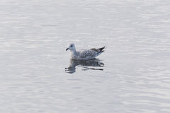 Заплывание чайки в воде Стоковое Фото