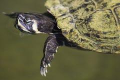 Заплывание черепахи слайдера пруда Стоковое Изображение