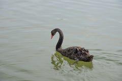 Заплывание черного лебедя в озере стоковая фотография rf