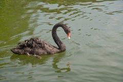 Заплывание черного лебедя в озере стоковые фотографии rf