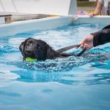 Заплывание черной собаки стоковая фотография