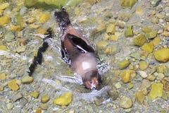 Заплывание щенка морского котика Новой Зеландии в чистой воде Стоковая Фотография RF