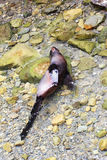 Заплывание щенка морского котика Новой Зеландии в чистой воде Стоковое Изображение