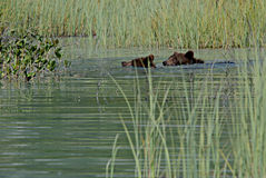 Заплывание Cubs гризли в озере Clark стоковая фотография