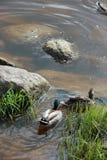 Заплывание Drake и утки на воде около зеленой травы и серого s Стоковое Изображение RF