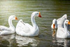 Заплывание Gooses на воде Стоковая Фотография