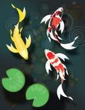 Заплывание koi бабочки в пруде Стоковое Изображение