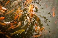 Заплывание Koi в пруде Стоковое фото RF