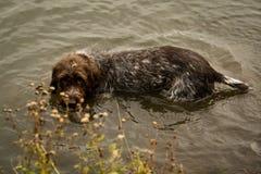 Заплывание Korthals Griffon в озере Стоковое Изображение