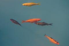Заплывание 5 multi покрашенное рыб в пасмурном открытом море Стоковое Изображение RF